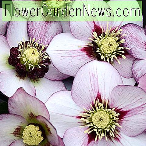 Helleborus French Kiss, Nieswurz 'French Kiss', Lenten Rose 'French Kiss', Weiß Nieswurz, Pink Nieswurz, Single Nieswurz, Single Lenten Rose