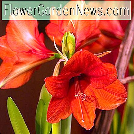 Amaryllis 'Orange Souvereign' (Hippeastrum)