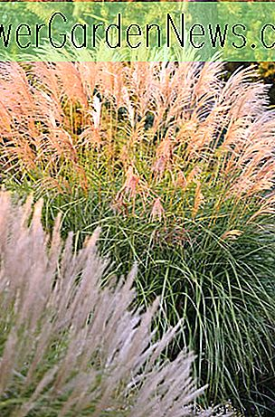 Miscanthus sinensis 'Grosse Fontane' (Jungferngras)