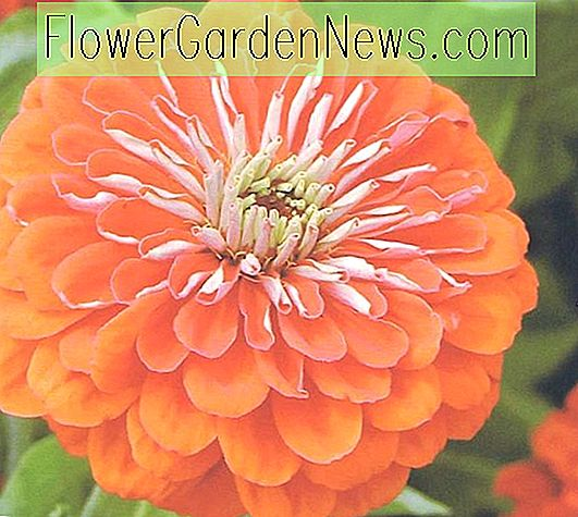 Zinnia elegans 'Queeny Orange'
