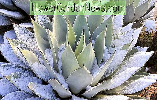 Cold-Hardy Agaves for hagen din