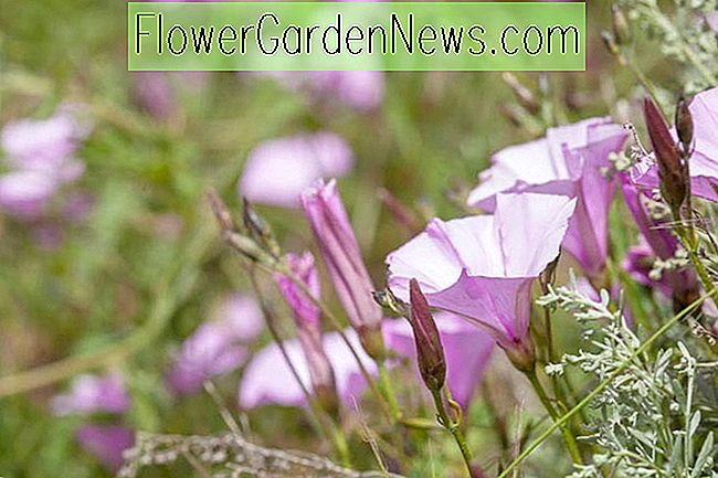 Convolvulus althaeoides (Mallow Bindweed)