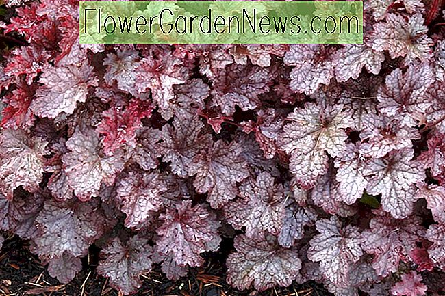 Heuchera 'Plum Pudding' (Coral Bells)