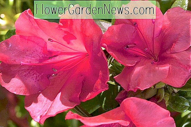 Rhododendron 'Autumn Sunset' (Encore Azalea-serien)