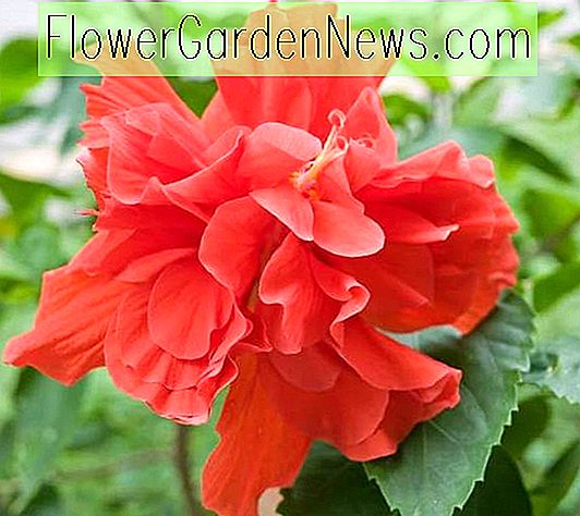 Hibiscus rosa-sinensis 'Red Dragon' (Tropical Hibiscus)