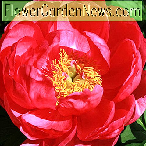 Paeonia 'Cytherea' (Pfingstrose)