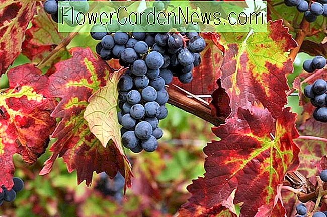 Vitis 'Brant' (Grape Vine)
