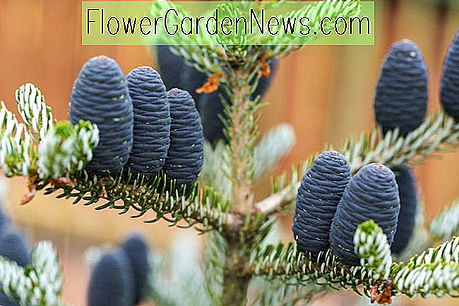 Abies Koreana, Koreansk Fir, Evergreen Conifer, Evergreen busk, Evergreen Tree