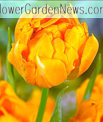 Tulipa 'Orca' (Double Early Tulip)