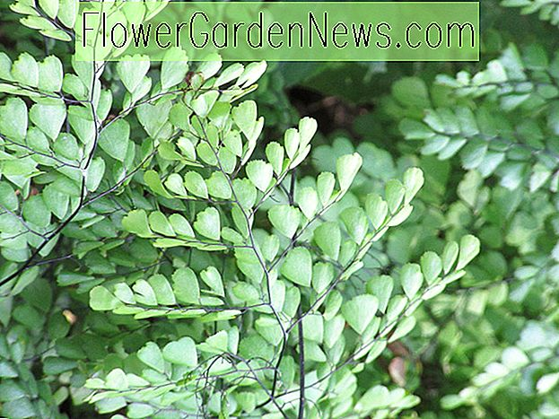 Adiantum venustum, Himalayan Maidenhair Fern, Evergreen Maidenhair, Evergreen Fern, Shade planter, skygge flerårig, planter for skygge, planter for våt jord