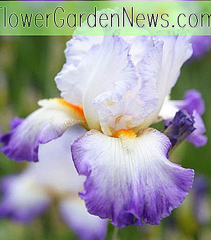 Iris 'Conjuration' (Bearded Iris)