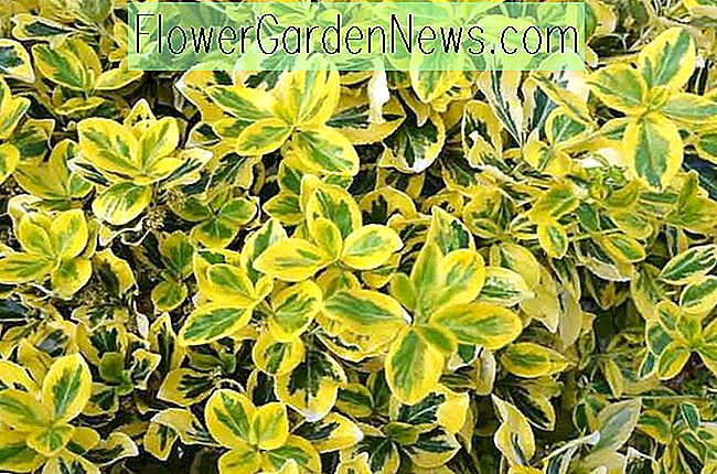 Euonymus fortunei 'Smaragd' n 'Gold' (Wintercreeper)