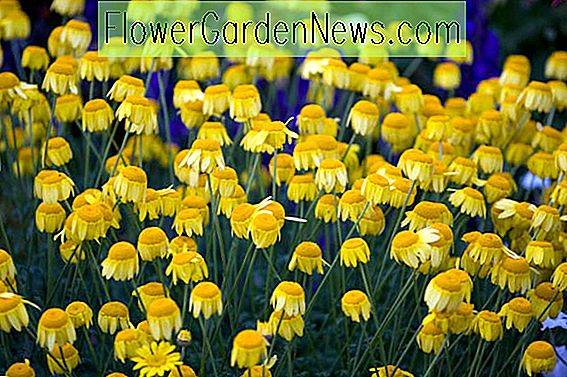 Anthemis tinctoria (Golden Marguerite)