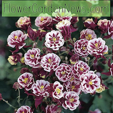 Aquilegia vulgaris 'Winky Double Red-White' (โคลัมไบน์)