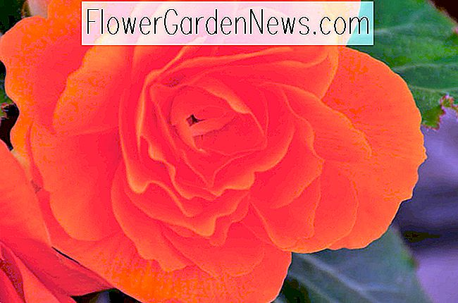 Begonia 'Roseform Orange'