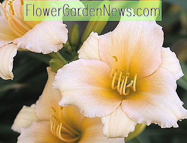 Hemerocallis Mini Pearl, Daylily Mini Pearl, Day Lily Mini Pearl, Mini Pearl Daylily, Reblooming Daylily, Daylilies, Daylily, Day Lilies, Pink blomster, Pink Day Lily, Pink Daylily, Pink Hemerocallis