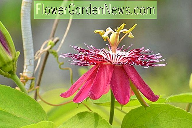 Passiflora 'Lady Margaret' (Passion Flower)