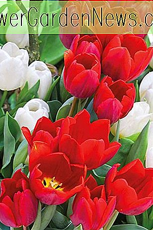 Tulipa 'Couleur Cardinal' (Single Early Tulip)