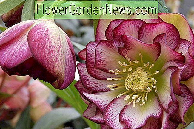 Helleborus Winter Jewels 'Harlequin Gem'