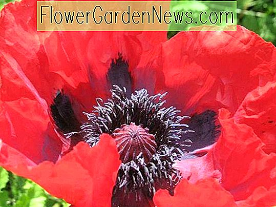 Papaver orientale 'Beauty of Livermere' (Oriental Poppy)
