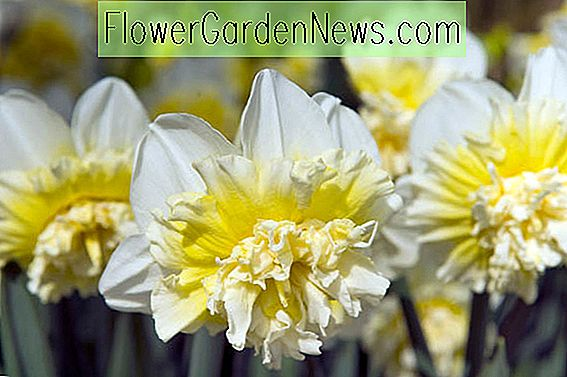 Narcissus 'Ice King' (dubbele narcis)