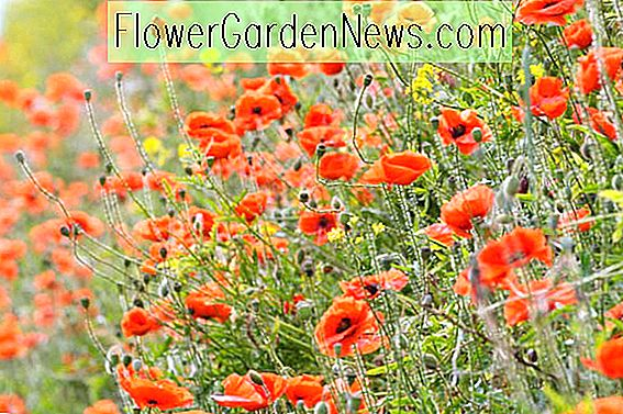 Papaver rhoeas (Common Poppy)