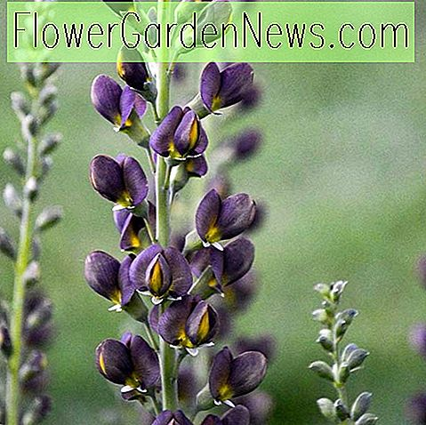 Baptisia 'Dark Chocolate' (False Indigo)