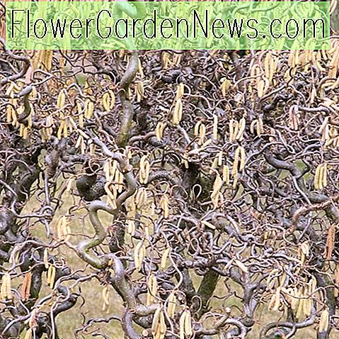 Corylus avellana 'Contorta' (Harry Lauder's Walking Stick)