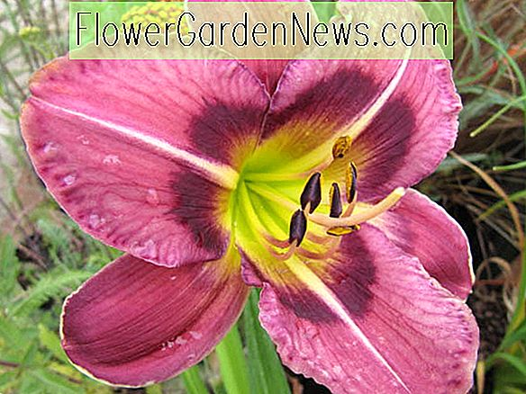Hemerocallis 'Always Afternoon' (Reblooming Daylily)