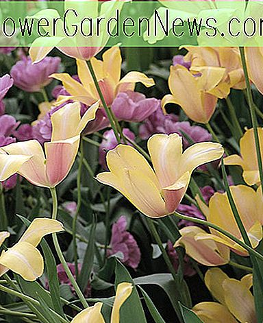 Tulipa 'Blushing Lady' (Single Late Tulip)
