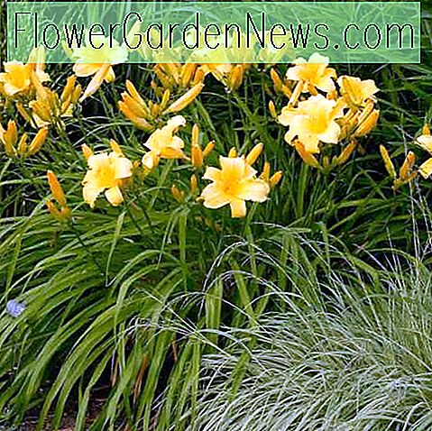 Hemerocallis 'Mary Todd', Taglilie 'Mary Todd', Taglilie 'Mary Todd', 'Mary Todd Taglilie, Taglilien, Taglilie, Taglilien, gelbe Blüten, gelbe Taglilie, gelbe Taglilie, Hemerocallidace