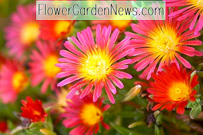 Delosperma 'Wheels of Wonder - Feuerwunder' (Ice Plant)