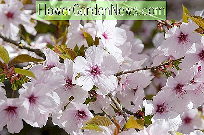 Prunus 'The Bride' (bloeiende kers)