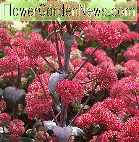 Sedum 'Red Cauli' (Stonecrop)