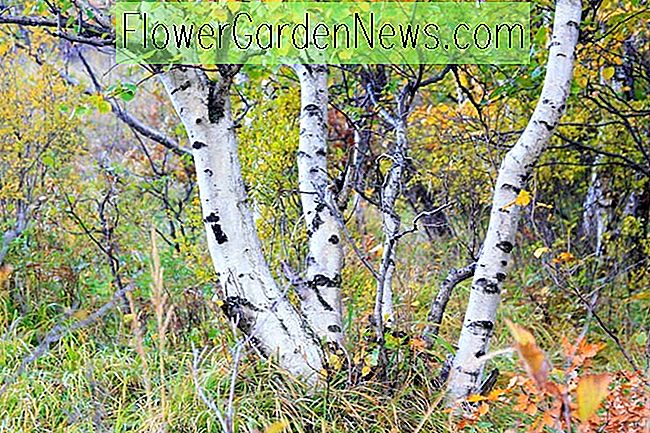 Underplanting Birches