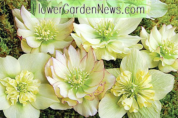 Helleborus Winter Jewels 'Golden Lotus'