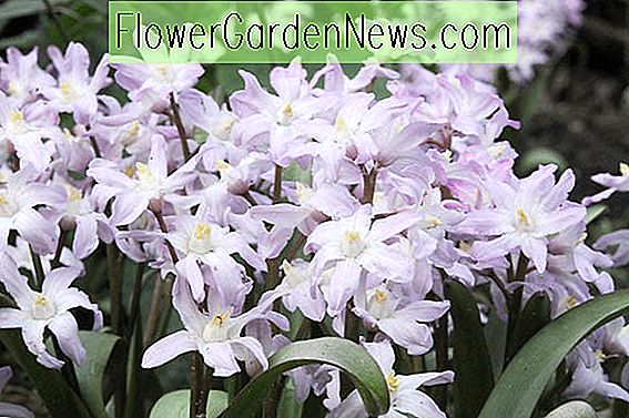 Chionodoxa forbesii 'Pink Giant' (Glory of the Snow)