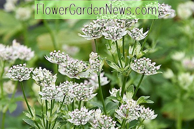 Astrantia major 'Star of Billion' (Great Masterwort)