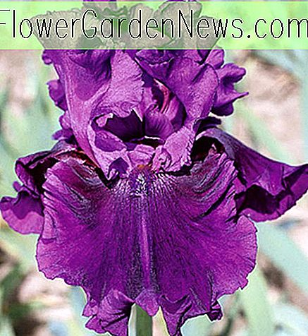 Iris 'Purple Serenade' (Iris barbudo)