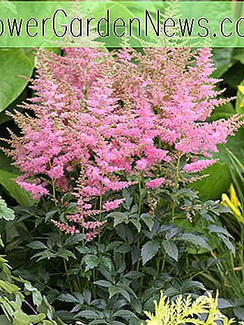 Astilbe 'Country and Western', Astilbe 'Country and Western', False Spirea 'Country and Western', False Goat's Beard 'Country and Western', Roze Astilbes, Roze bloemen, bloemen voor schaduw