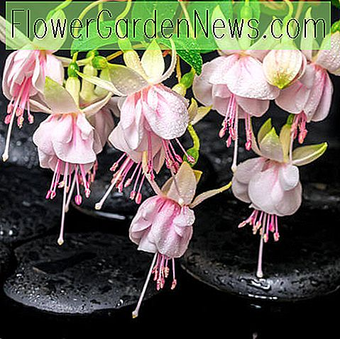 Fabulous Fuchsias For The Rock Garden