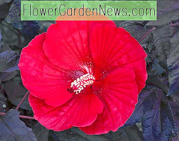 Hibiscus 'Midnight Marvel' (Rose Mallow)