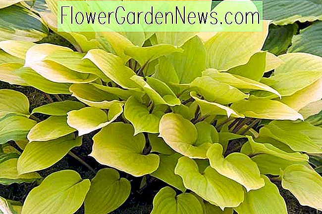 Hosta 'Fire Island' (Weegbree Lily)