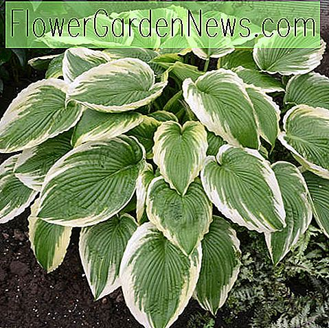 Hosta 'Bridal Falls' (Weegbree Lily)