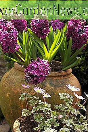 Hyacinthus Orientalis 'Woodstock', Hyacinth 'Woodstock', Dutch Hyacinth, Hyacinthus Orientalis, Common Hyacinth, Spring Bulbs, Spring Flowers, purple hyacinth, hyacinth, early spring bloomer, mid spring bloomer, Woodstock