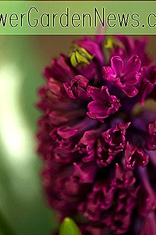 Hyacinthus orientalis 'Woodstock' (Dutch Hyacinth)