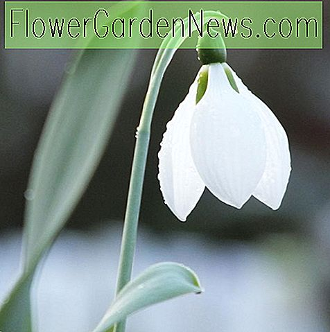 Galanthus elwesii (Greater Snowdrop)