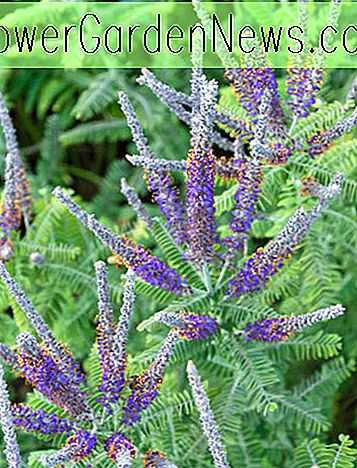 Amorpha canescens (Lead Plant)