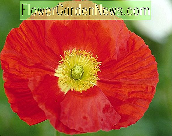 Papaver nudicaule 'Champagne Bubbles Scarlet' (Island Poppy)