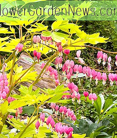 Dicentra spectabilis 'Gold Heart' (Bleeding Heart)